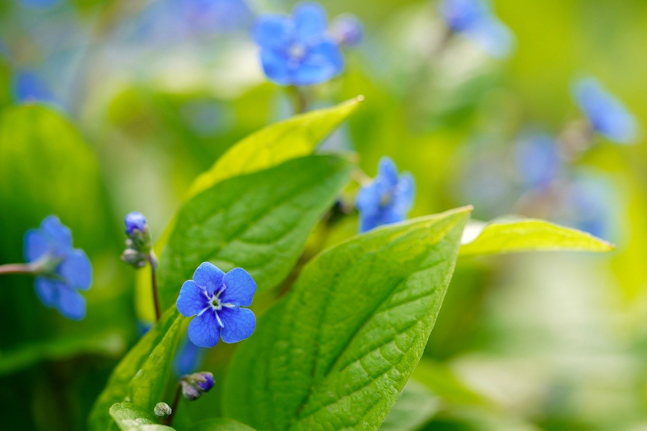 forget me not, flower, leaves